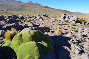 yareta-plant-in-the-andes