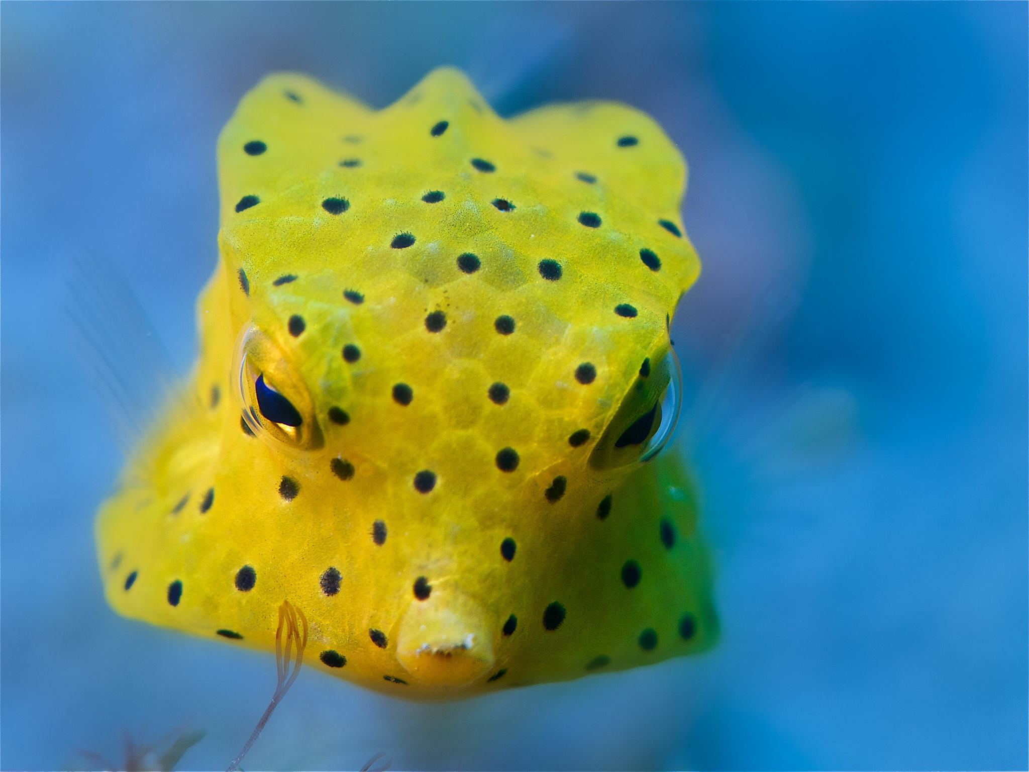 yelow boxfish Ostracion Cubicus OK Divers Bali