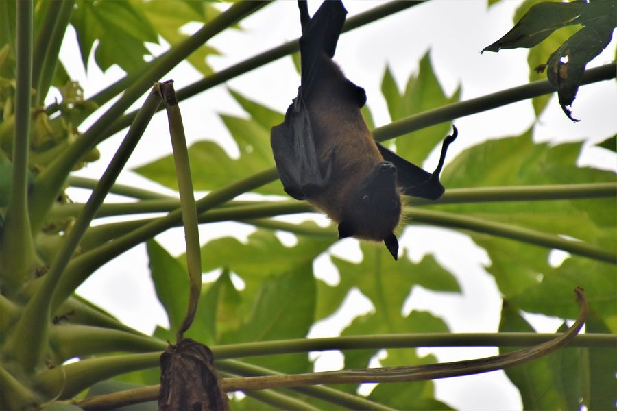 huge fruit bats on Thoddoo Maldives