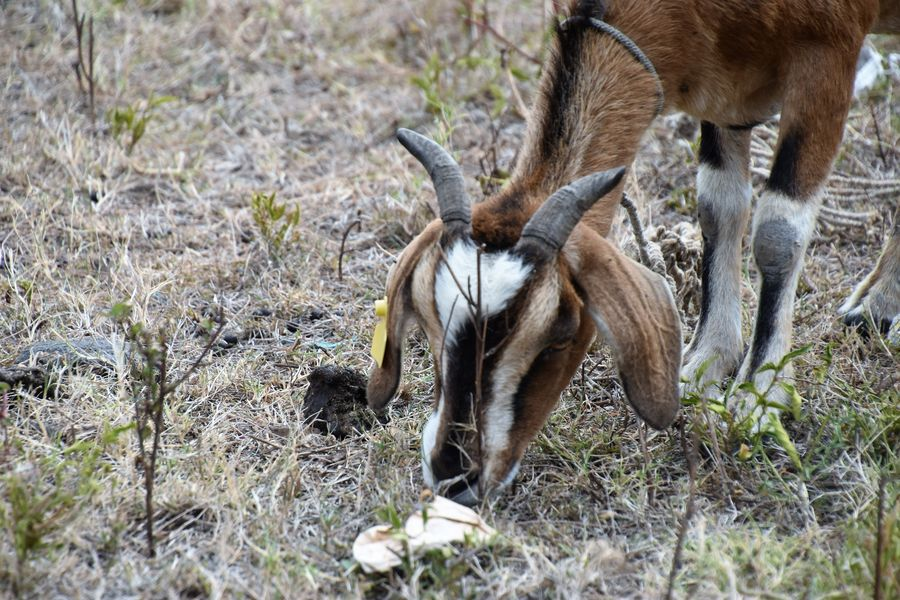 Many goats found around Rodrigues island