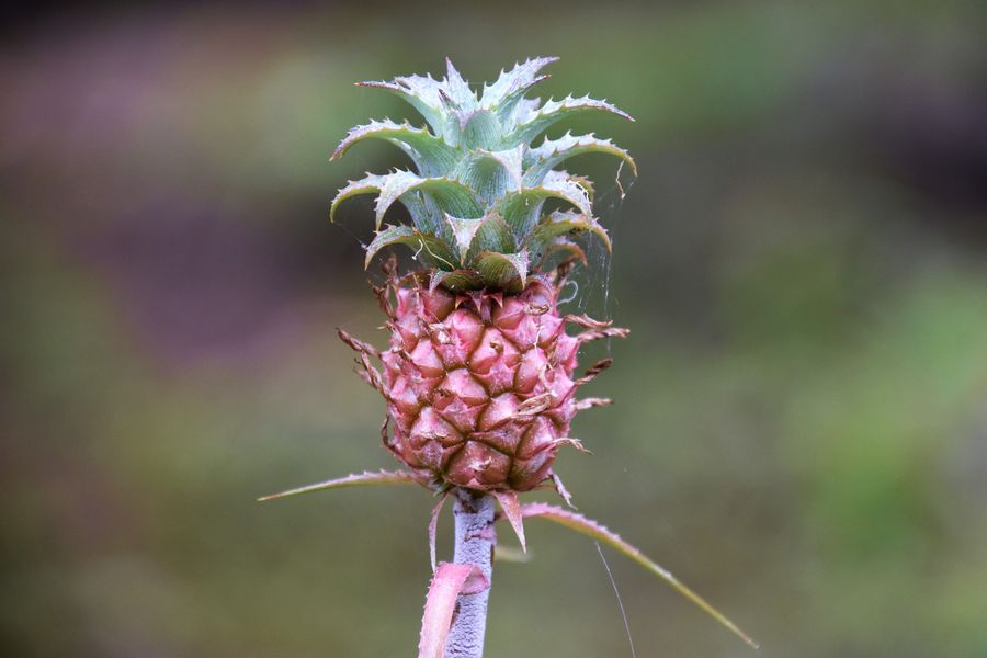 sweet small pineapple on Rodrigues island
