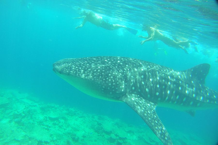 snorkeling with whale sharks LUX South Ari Maldives