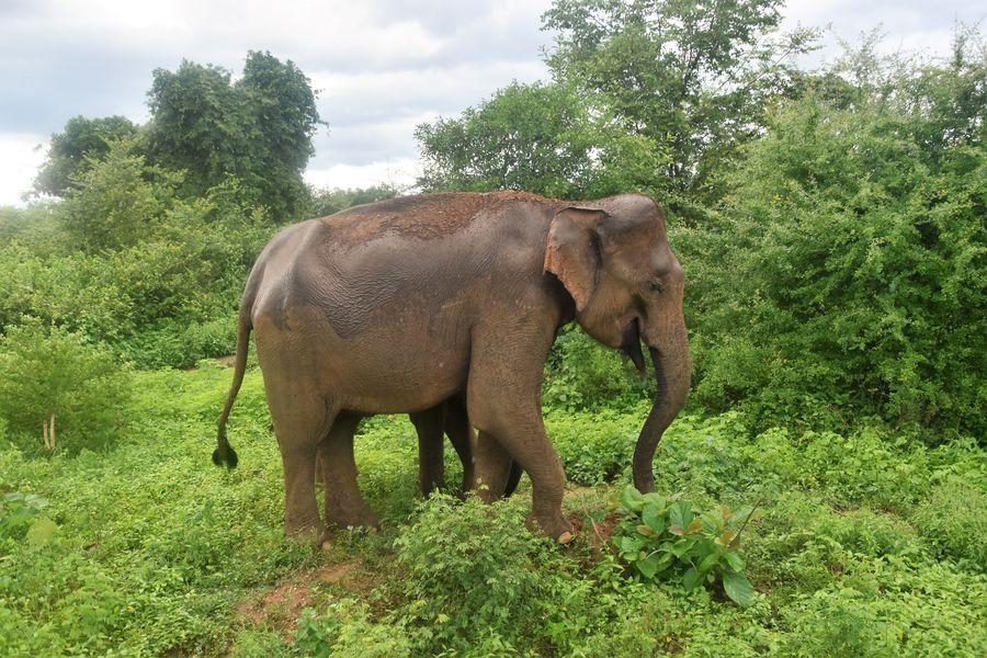 slonica v Udawalawe