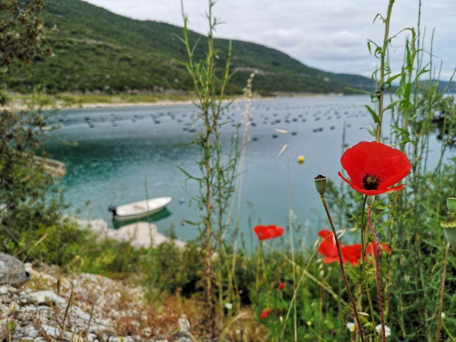 poppy in Neum Bosnia and Herzegovina
